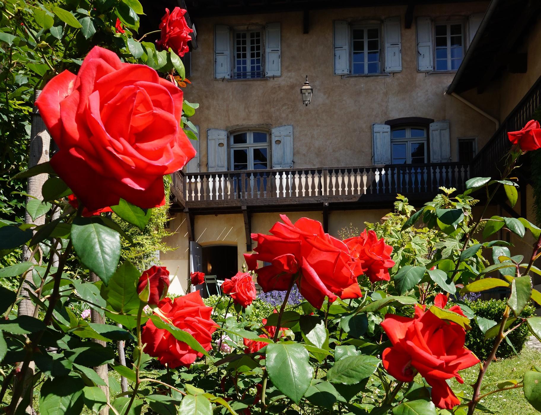 La rose Berlioz
